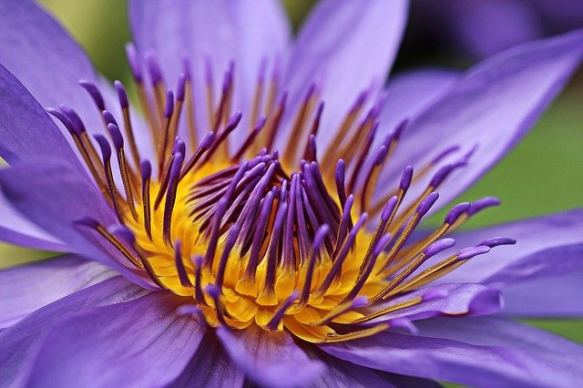 lotus violet